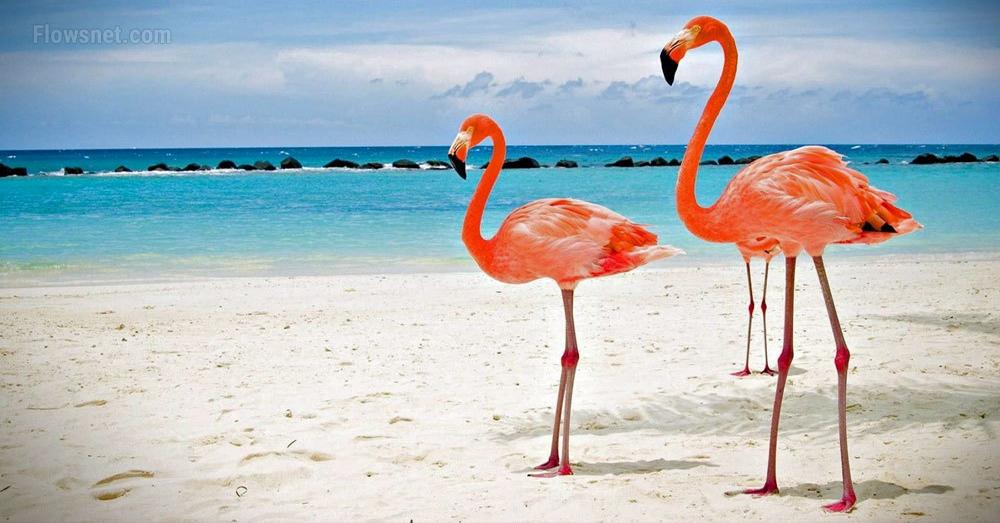 Kūrorts Bahamu salās izsludina vakanci flamingu pieskatītājam