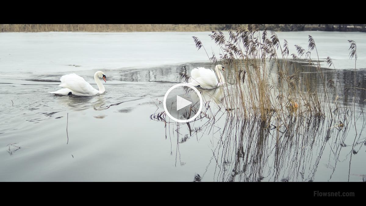 Īsfilma: gulbji un dzirgi 03.02.2018